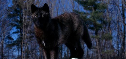 wallpaper de un bonito lobo negro en la nieve