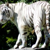 wallpaper hd tigre blanco
