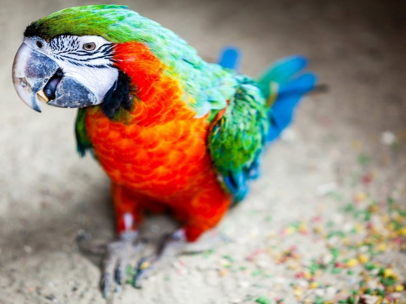 wallpaper hd animales: loro de colores