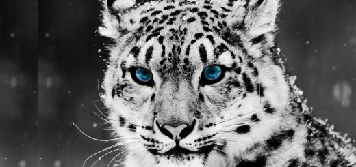 fondos de pantalla hd de tigre blanco y negro
