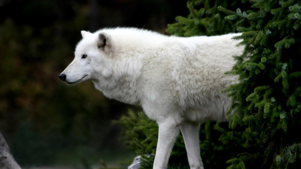 wallpaper hd de un lobo blanco en la vegetación