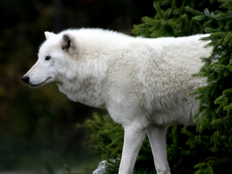 wallpaper hd de un lobo blanco en la vegetación