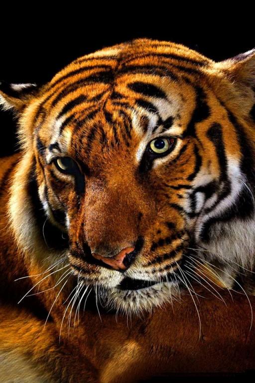 tigre para fondo de pantalla de iPhone